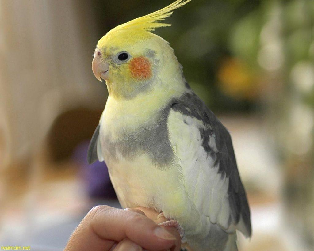 Piolho em aves