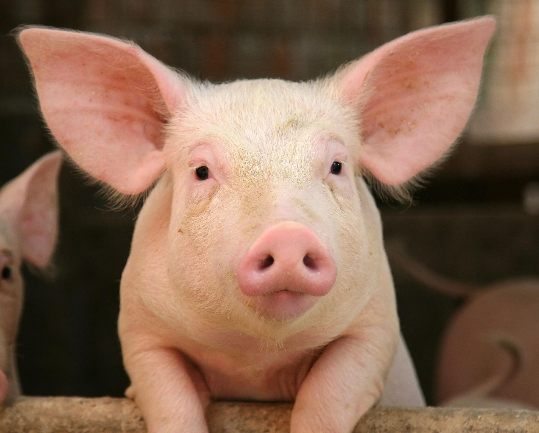 sarna suina - porcos