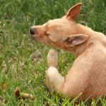 Calor favorece proliferação de pulgas e carrapatos