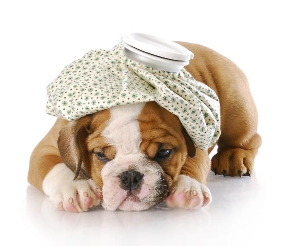 cachorro com infeccao